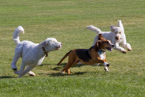 Dogs Playing in Park near Cape Coral Luxury Homes